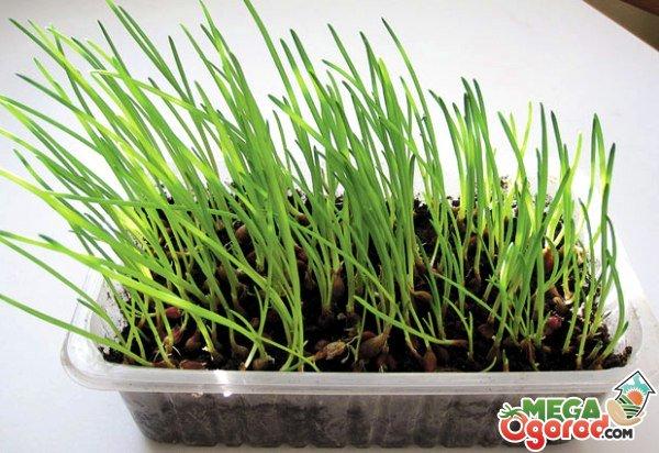Выращивание лука в домашних условиях 887