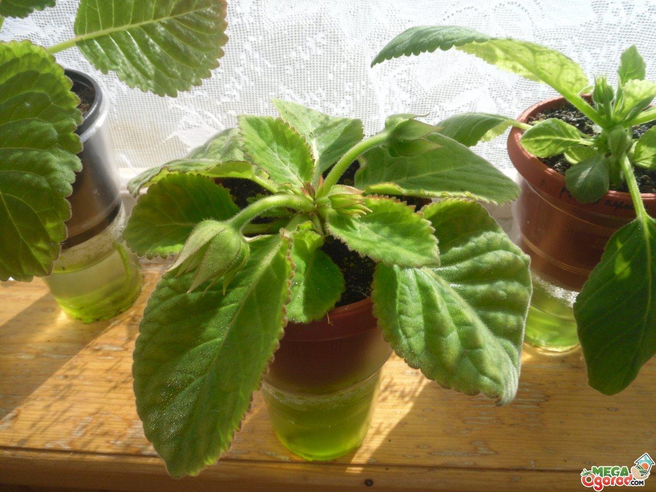 Правильное выращивание глицинии из семян: подготовка, посадка, уход 723