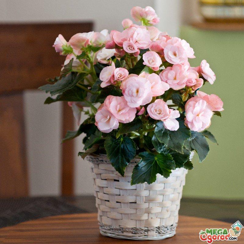 Комнатный цветок бегония: уход в домашних условиях с фото 41