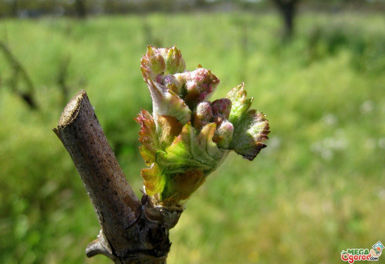 Обрезка винограда на зиму: основные правила и рекомендации