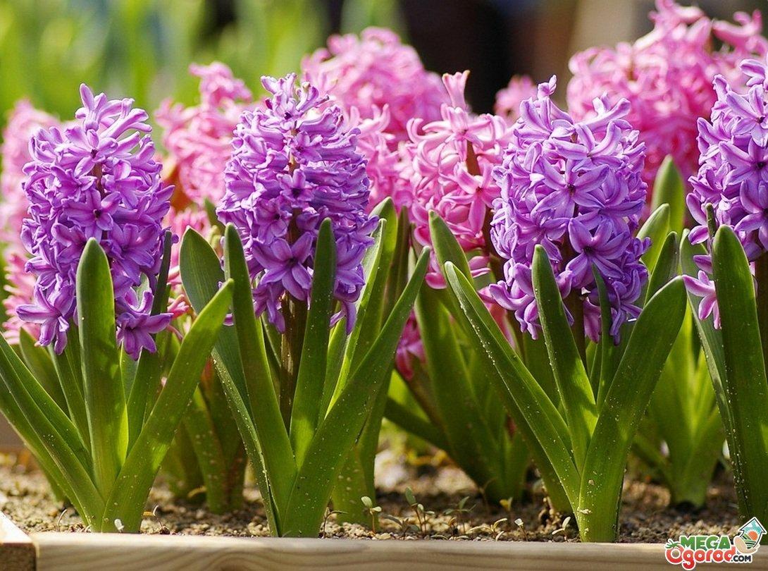 Гиацинт после цветения. Как сохранить луковицы гиацинтов - Садовые ... | 810x1090