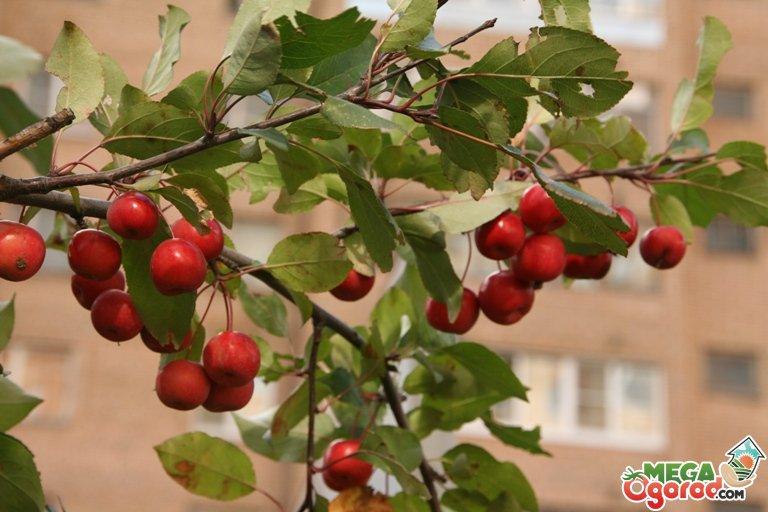 яблоня недзвецкого описание фото