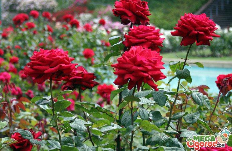 Розы корнесобственные купить с рук где купить цветы китайские исскуственные
