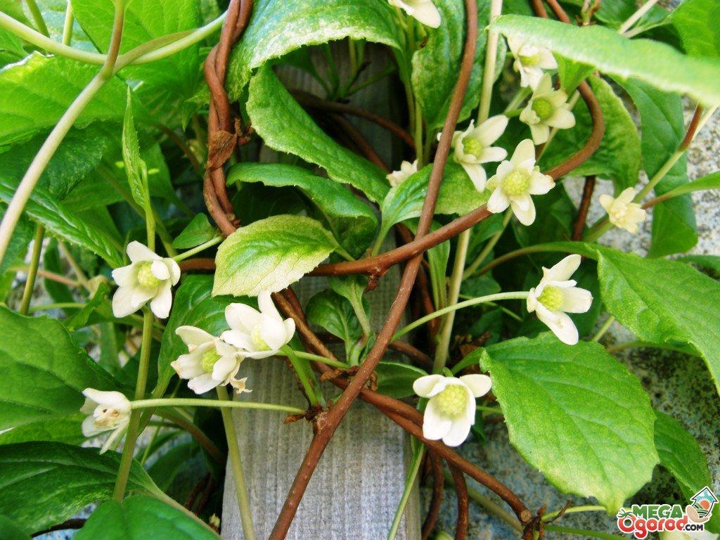 Цветы лимонник фото