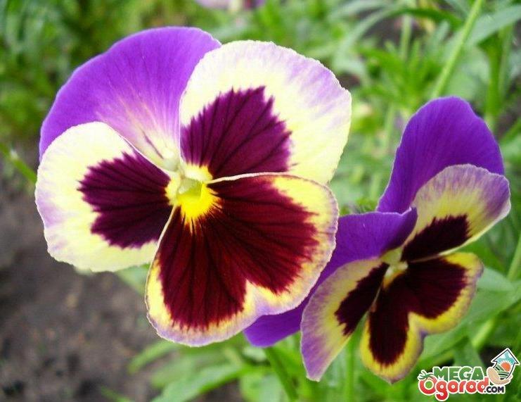 Виола цветок фото посадка и уход