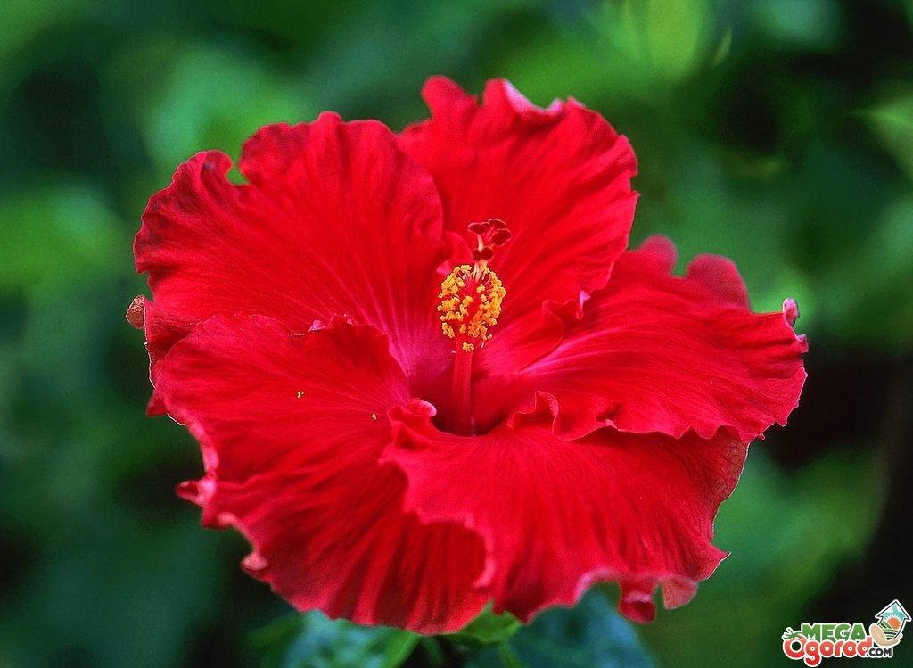 Секреты выращивания розана китайского в домашних условиях