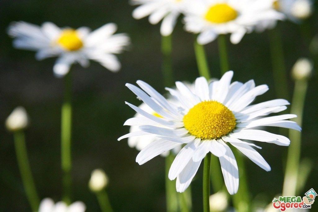 Ромашка садовая многолетняя - посадка и уход, размножение 24