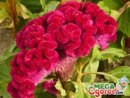 Альстромерия. Цветы. Выращивание. Начинающему цветоводу 99