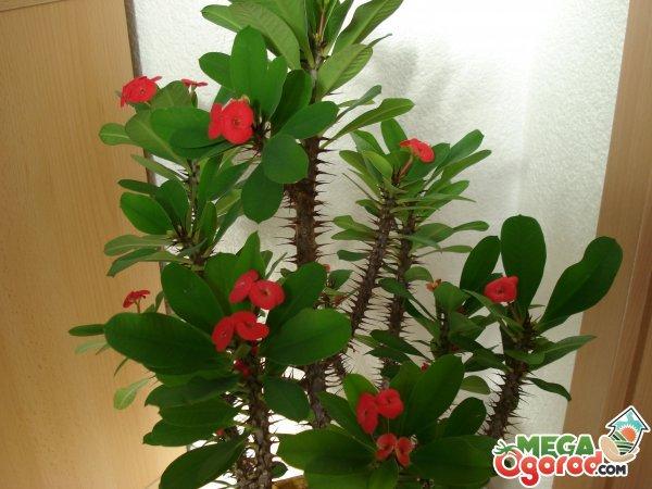 Молочай Миля - Комнатные растения и цветы