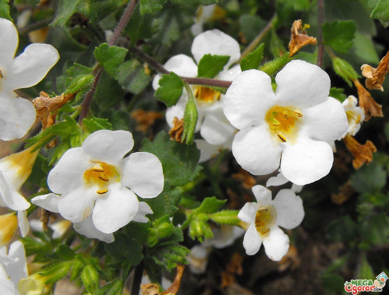 Цветы бакопа купить