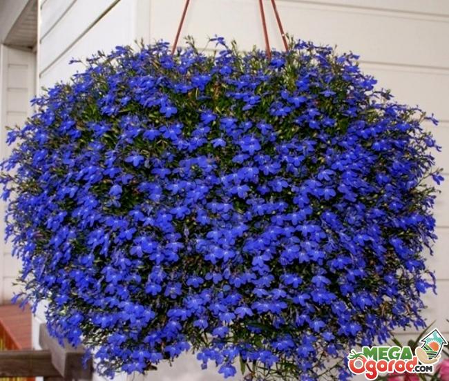 Цветы лобелия фото и название