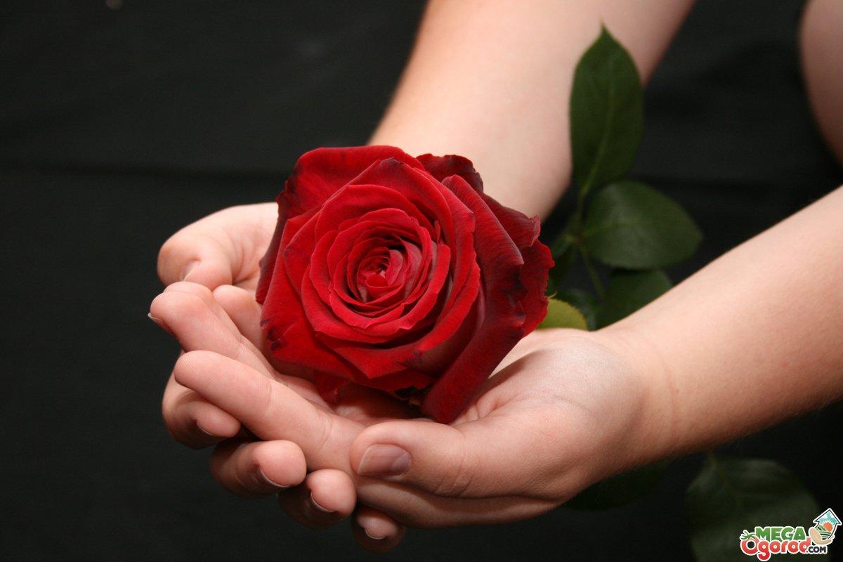фото красивые цветы розы