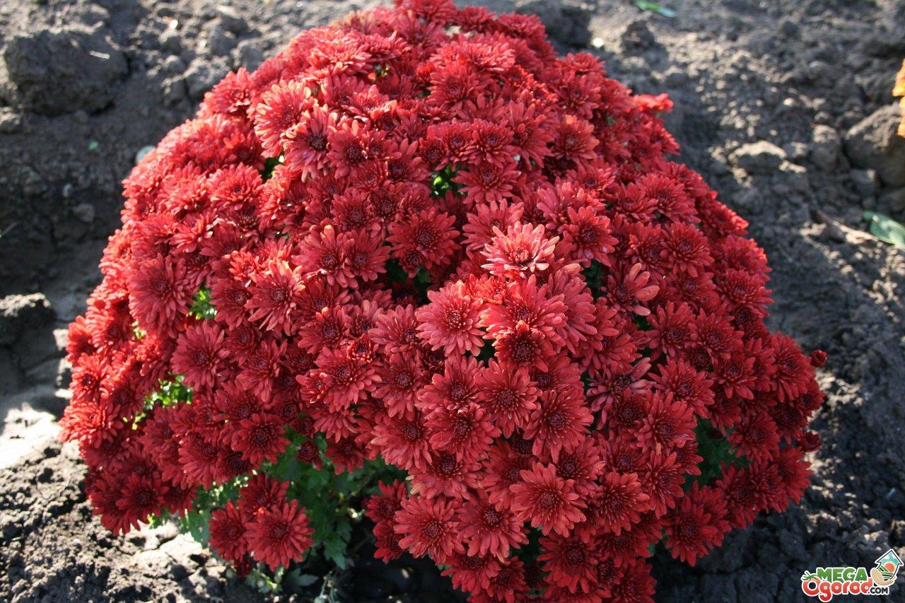 Выращивание хризантем: сорта и уход