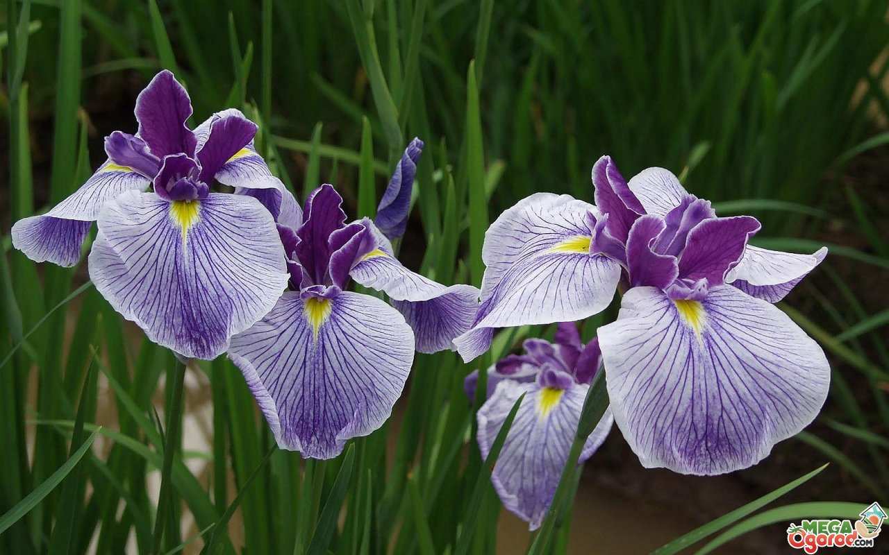 Цветы ирисы – выращивание: уход и посадка ирисов, фото и сорта ирисы бородатые