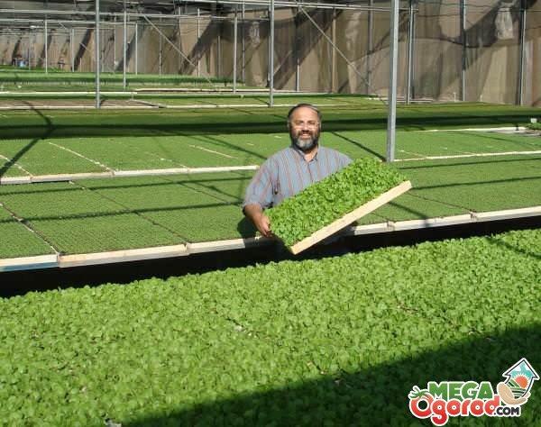 Прибыльный бизнес: выращивание зелени на продажу 1