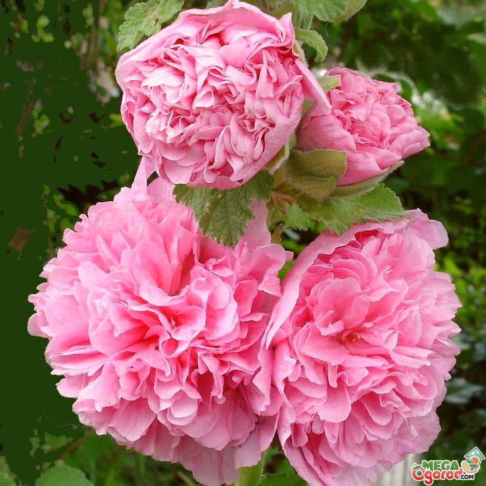 Цветы похожие на пионы и розы