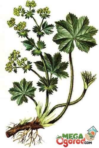 Все секреты выращивания травы манжетки