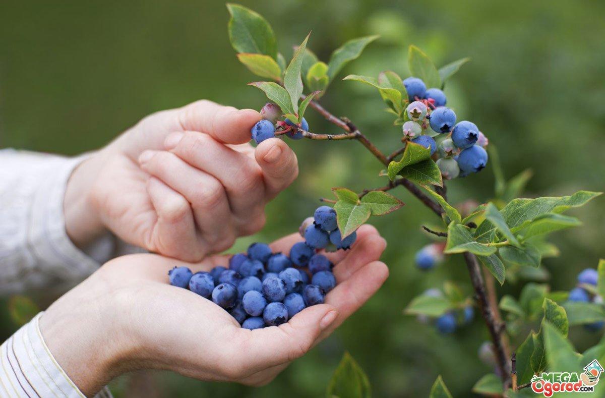 Черника — выращивание в Украине: от посадки до ухода