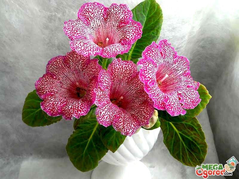 Глоксиния комнатная: фото цветов, описание, уход 54