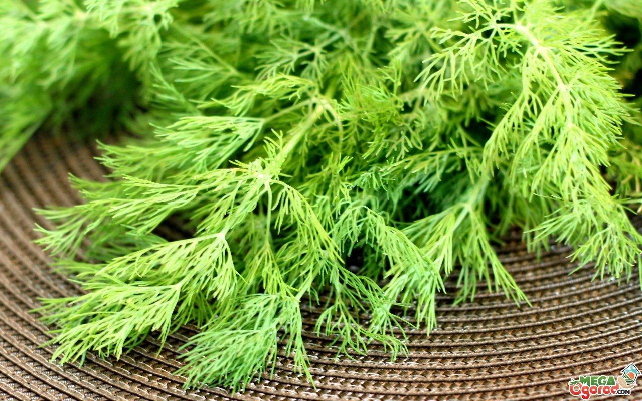 Посадка и уход за укропом на подоконнике, как вырастить ароматную зелень в горшке