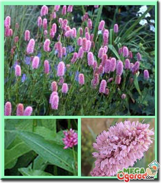 Горец цветок фото