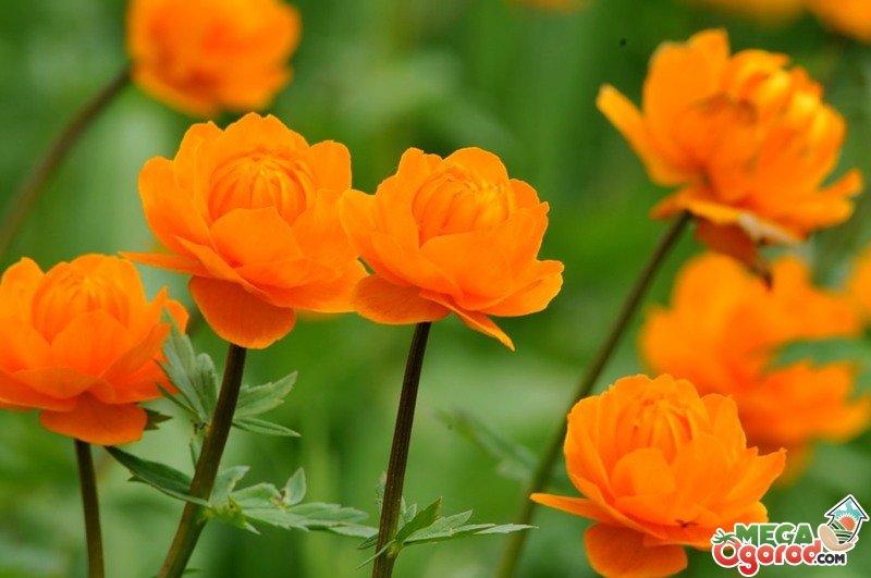Жарок цветок