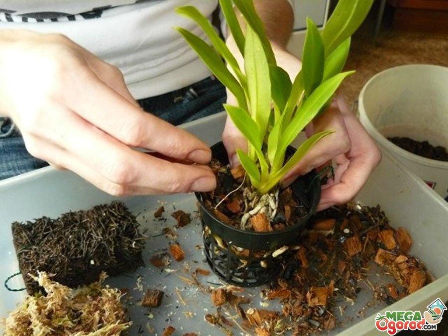 Орхидеи уход в домашних условиях после цветения