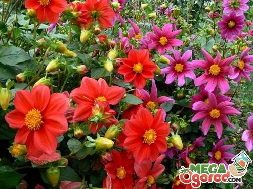 Фото и названия неприхотливых уличных цветов