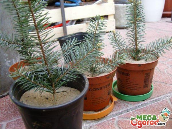 Как вырастить рододендрон Шлиппенбаха из семян Уход и фото