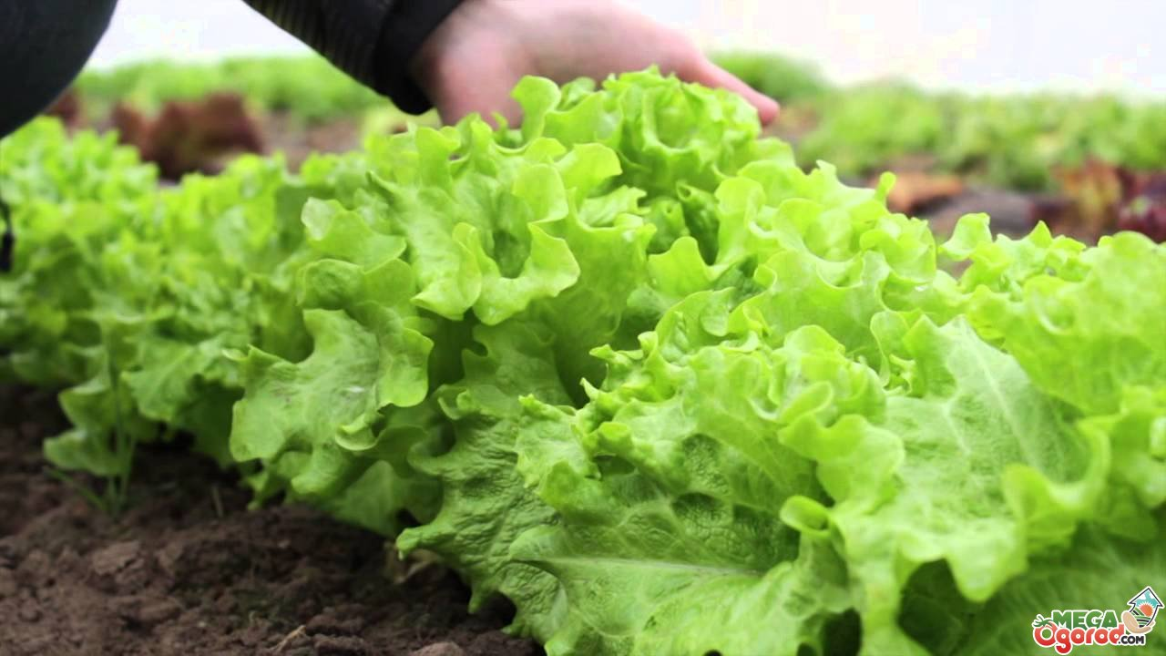Салат уход и выращивание в