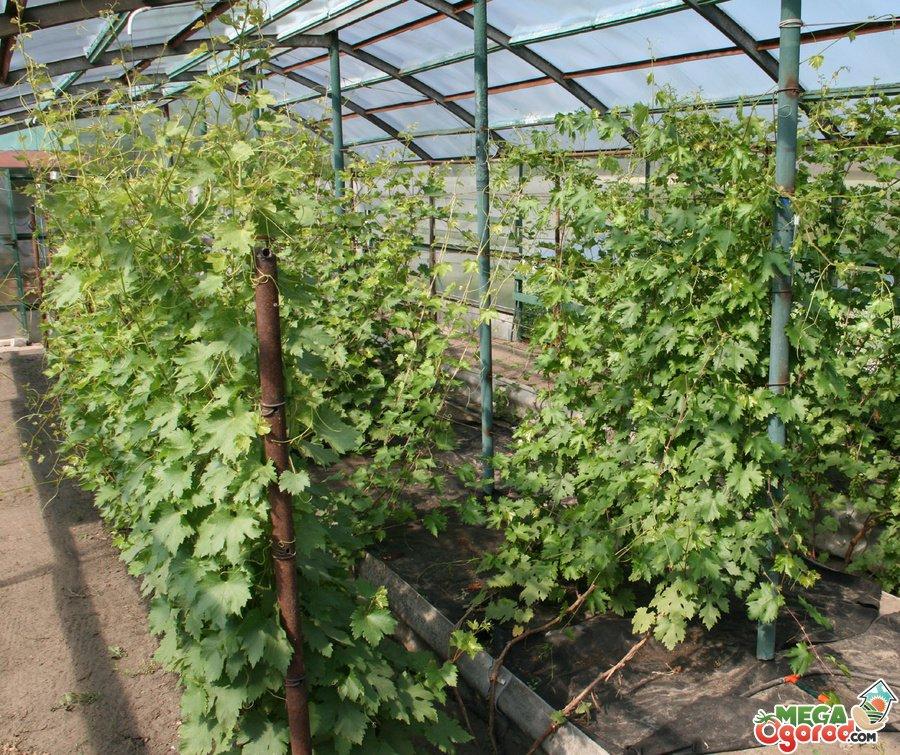 Современные способы выращивания винограда