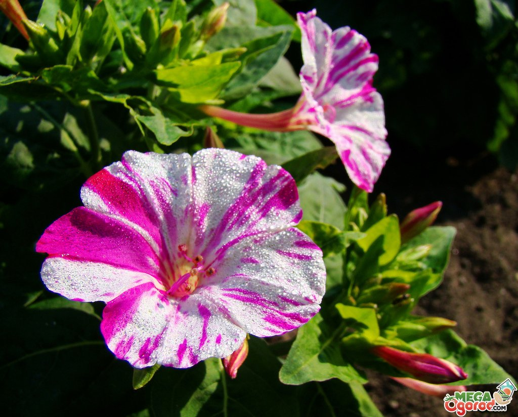 Цветы мирабилис и описанием