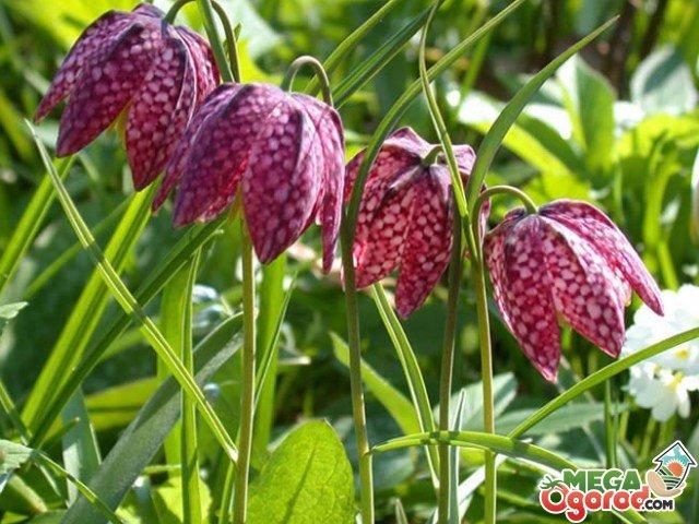 Рябчик цветок фото описание