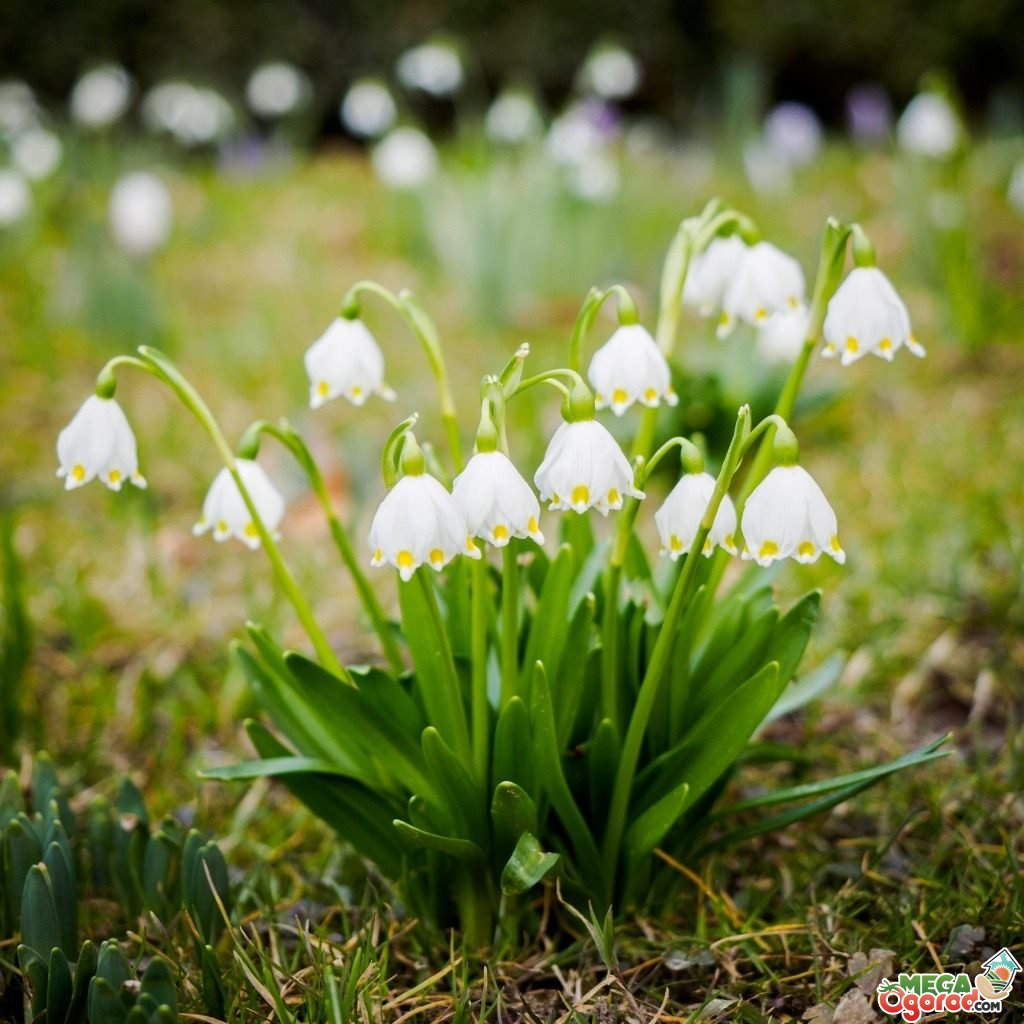 Ландыши (фото) — выращивание, посадка и уход, Сайт о саде, даче и комнатных растениях