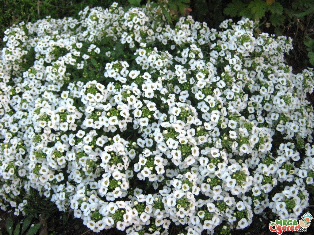 Цветок алиссум посадка и уход в открытом грунте, фото