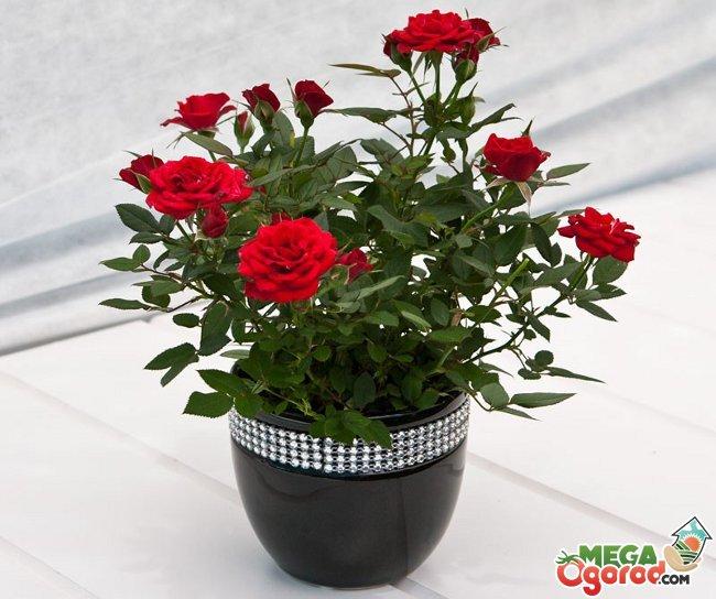 Фото цветка домашняя роза 12