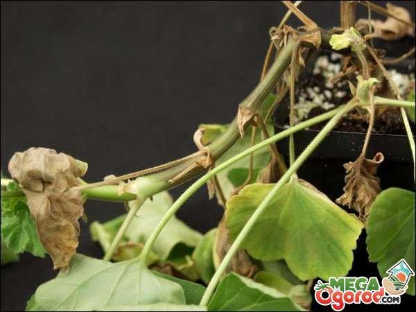Болезни пеларгонии гниль стебля