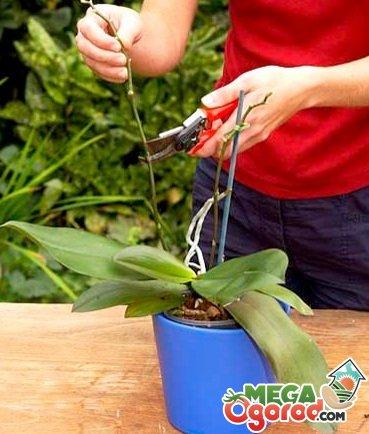 Как обрезать за орхидеей в домашних условиях 454