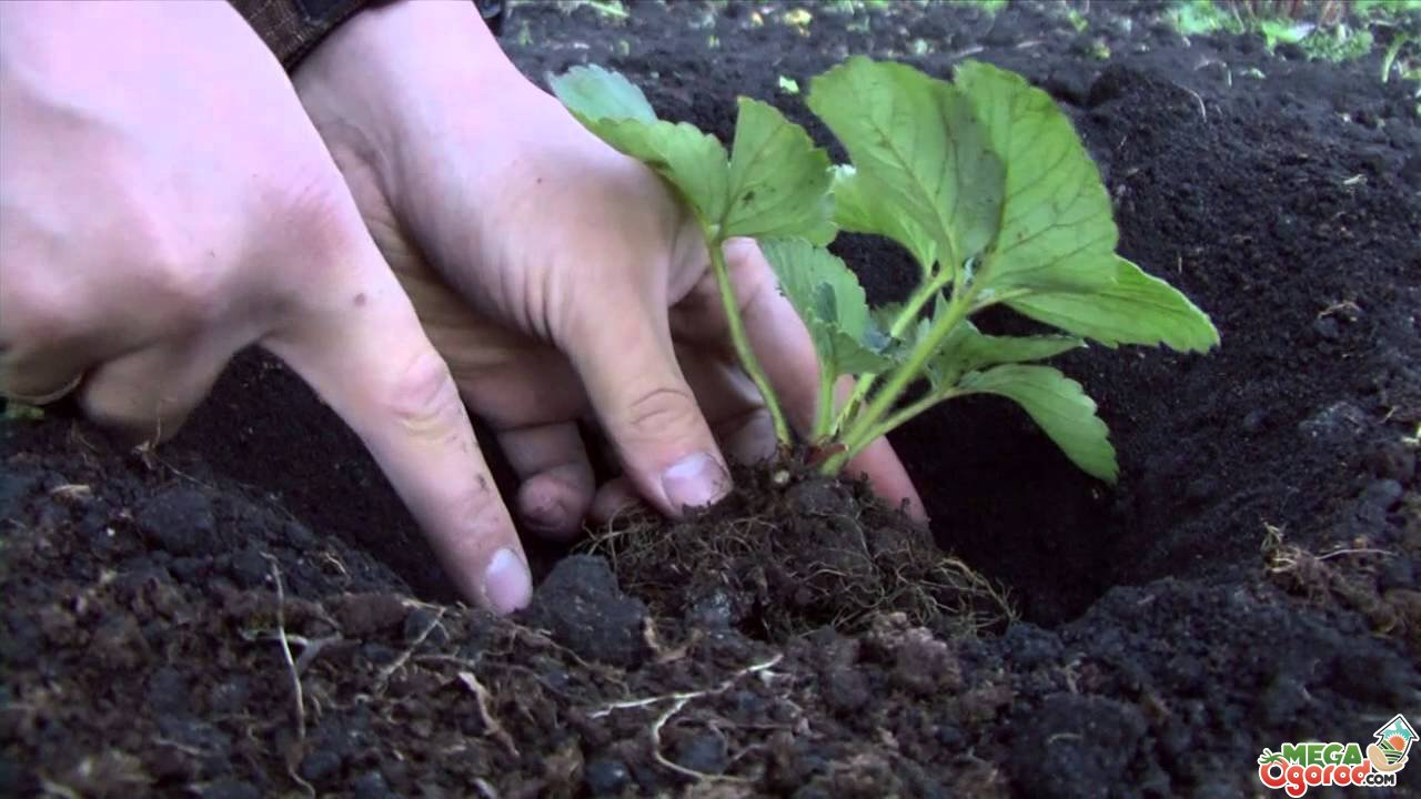 Почва под клубнику осенью