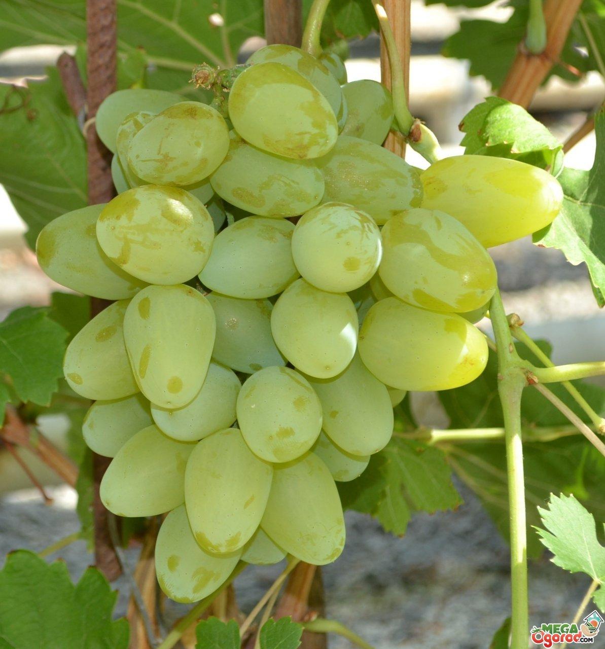 монарх фото виноград