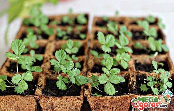 Как сажать землянику семенами: правила посадки и ухода