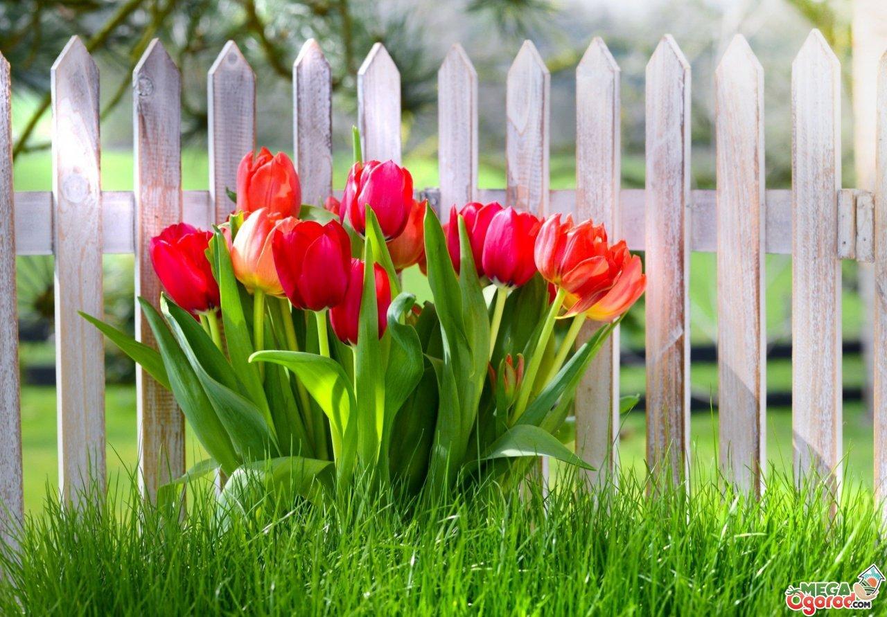 Тюльпаны выращивание и уход в саду фото