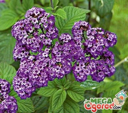 Цветок гелиотроп выращивание из семян, фото, уход и 31