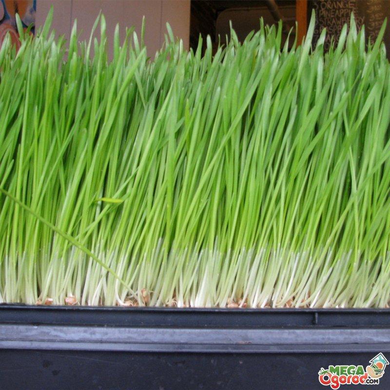 8 трав, которые можно вырастить на кухонном подоконнике 22