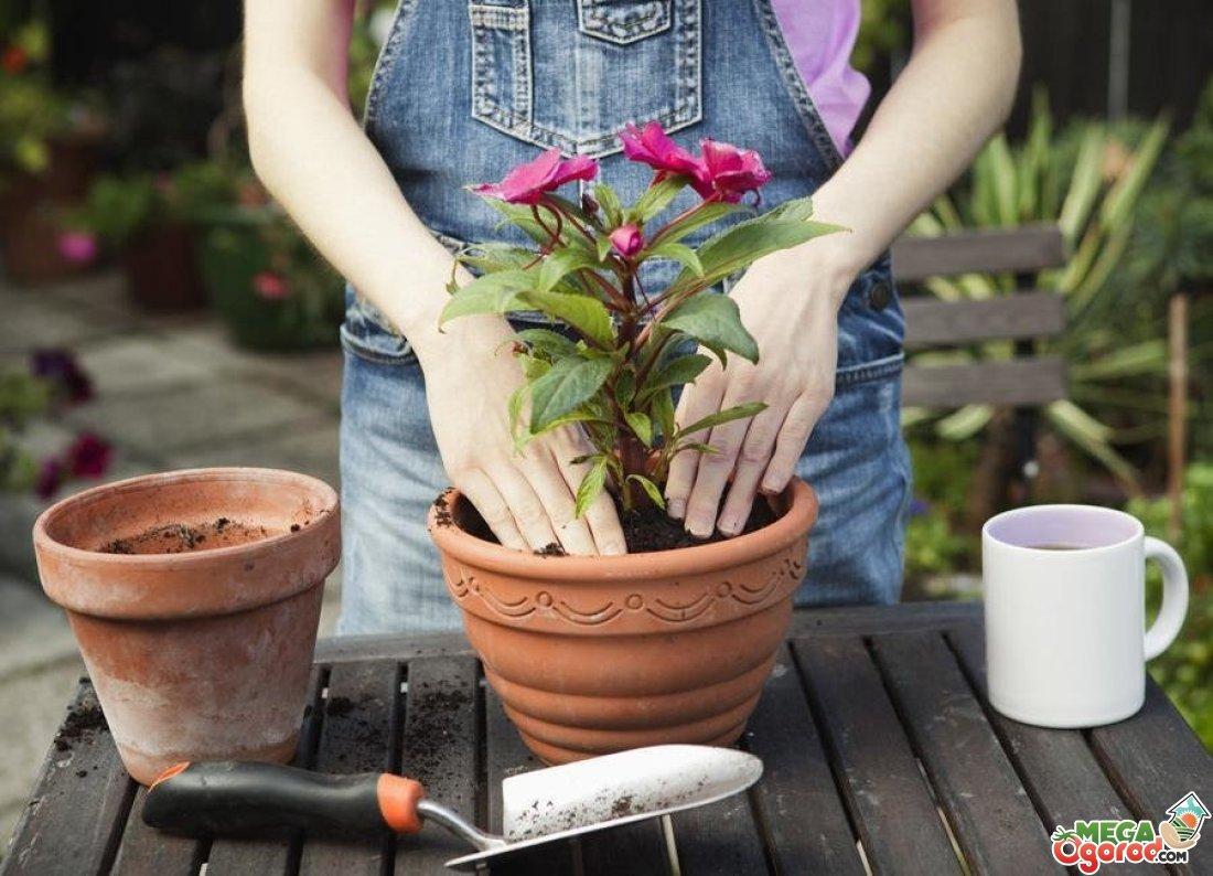 ПЕРЕСАДКА комнатных растений и цветов: как и когда ЛУЧШЕ? 51