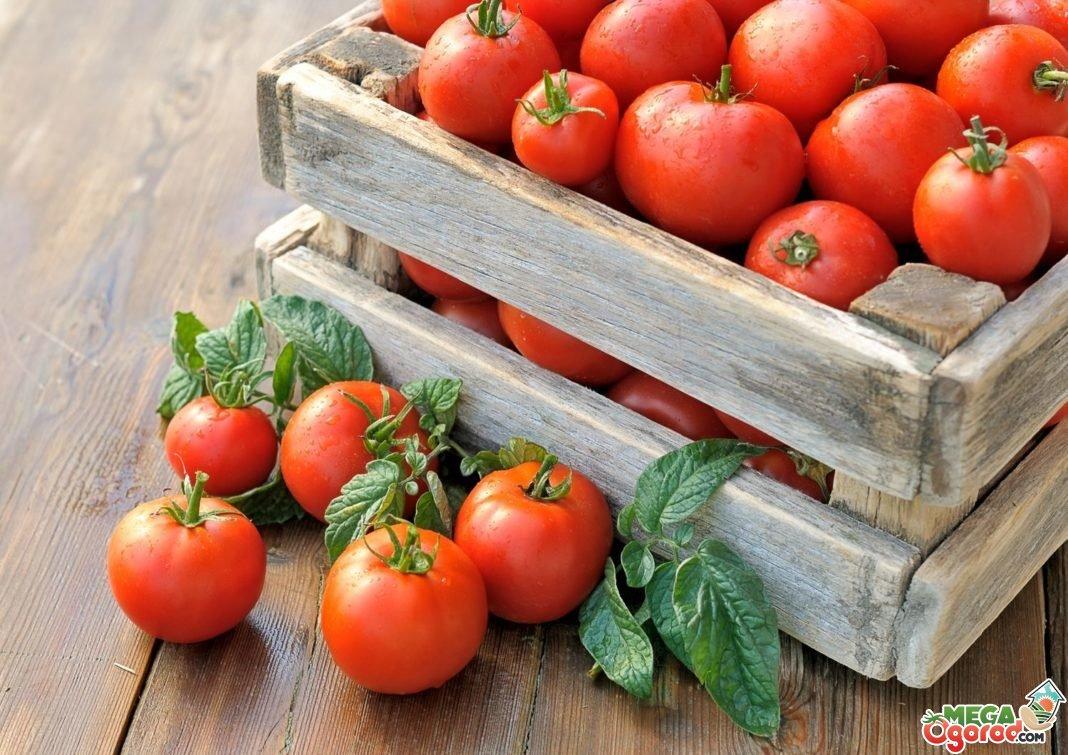 какие сорта помидор лучше выращивать