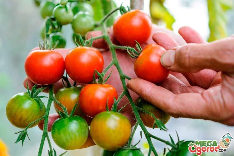 томаты для теплицы из поликарбоната выращивание