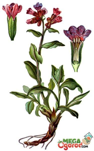 Картинки цветка медуницы в природе