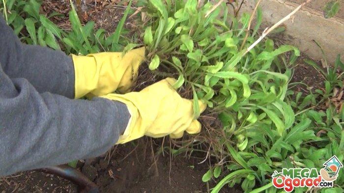 Уход за садовой ромашкой