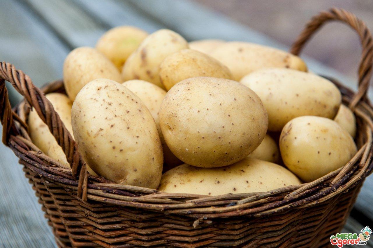 Какой сорт картофеля самый вкусный, Сайт о саде, даче и комнатных растениях